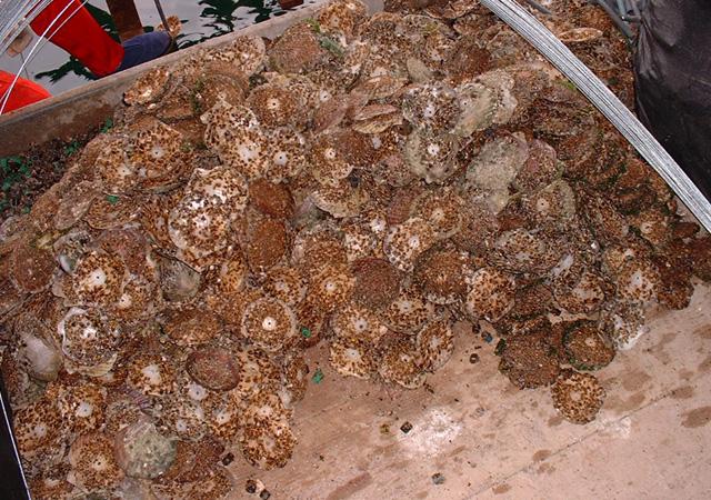 ホタテの貝殻に付着した、かきの幼生