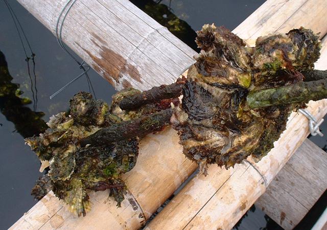 ホタテ貝を覆うほどの大きさに育ったかき
